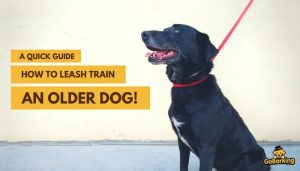 How to Leash Train an Older Dog