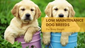 Low maintenance dog breeds