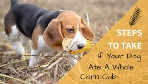 Dog Ate a Corn Cob
