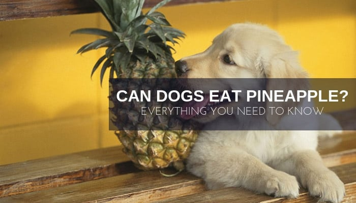Dogs eat pineapple